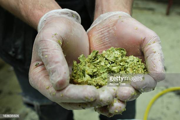 hops in a brewer technicians hands. - the brewery london stock photos and pictures