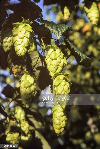 Hops on branches ready to be picked on a farm near Cranbrook in Kent, United Kingdom, September 1970.