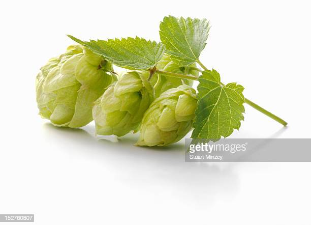 Hops on white background