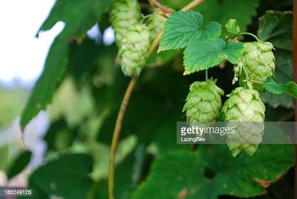 hops vines, summer - nelson city new zealand stock pictures, royalty-free photos & images