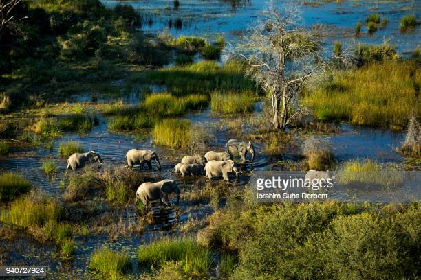 a horde of elephants in a sunny day. - okavango delta stock photos and pictures