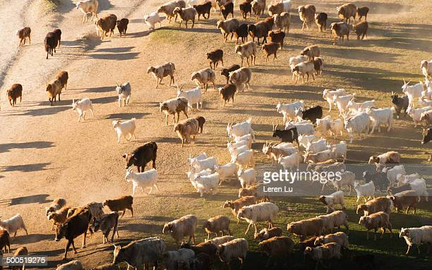 hordes migrating on wild highland - herbivorous stock pictures, royalty-free photos & images