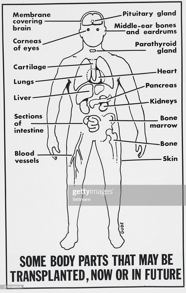 Diagram Of Human Body Pictures Getty Images