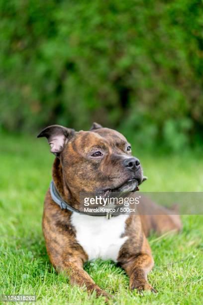 Horizontal Bull Breed Photo. Staffordshire Bull Terrier Lying On