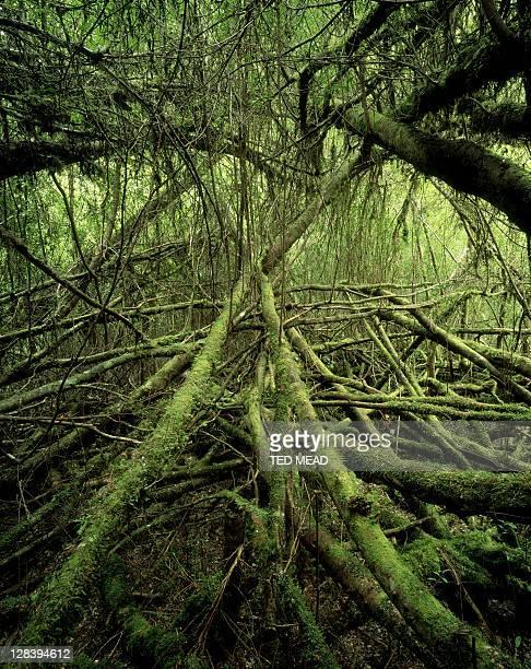 horizontal forest, tarkine wilderness, tasmania, australia. - spesso foto e immagini stock