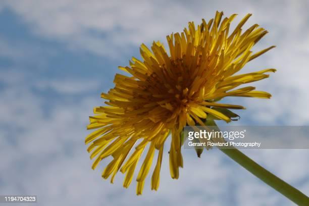a horizontal nature image of a golden dandelion. - feuille de pissenlit photos et images de collection