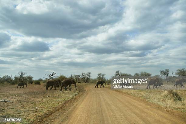 horizontal photography of herd of elephants crossing a dirt road in line on a cloudy day at kruger national park - erbivoro foto e immagini stock