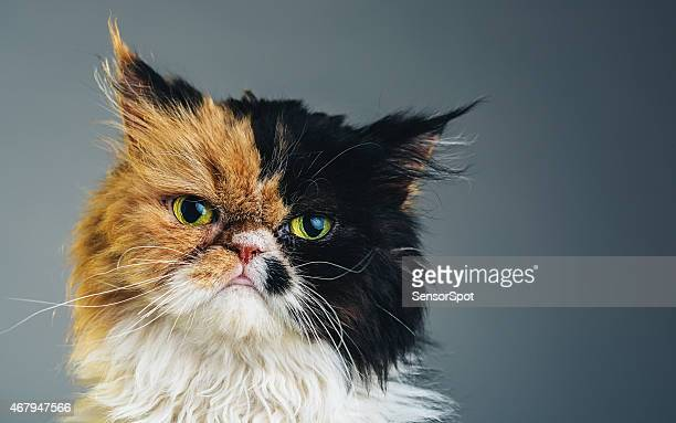 Horizontal Portrait of a Persian Cat