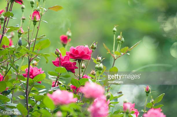 Horizontal summer pink rose garden