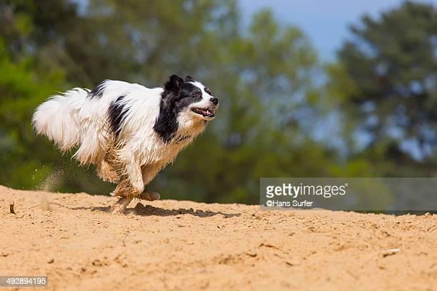 a horizontally running dog - border collie fotografías e imágenes de stock