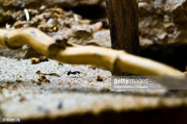 Hormiga - Ant