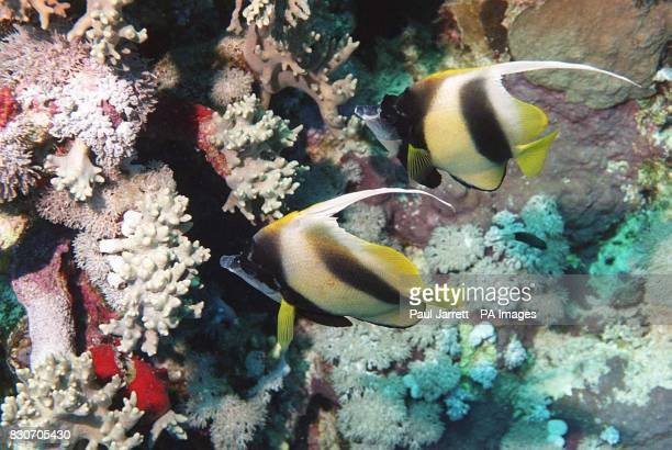 Horn Antenna Butterfly Fish by the Red Sea Coral Reef Some of the world's most precious and beautiful habitats are threatened by dynamite fishing and...