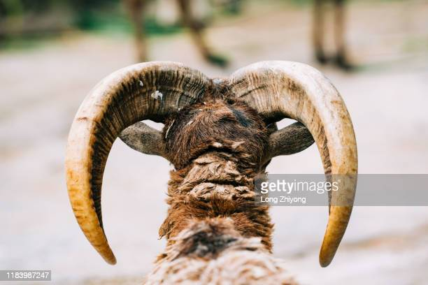horn of argali - argali sheep stock photos and pictures