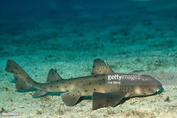 horn shark - 角のはえた ストックフォトと画像