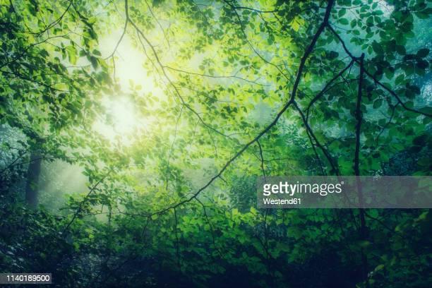 hornbeam, carpinus betulus, twigs with green leaves against the sun - árbol de hoja caduca fotografías e imágenes de stock