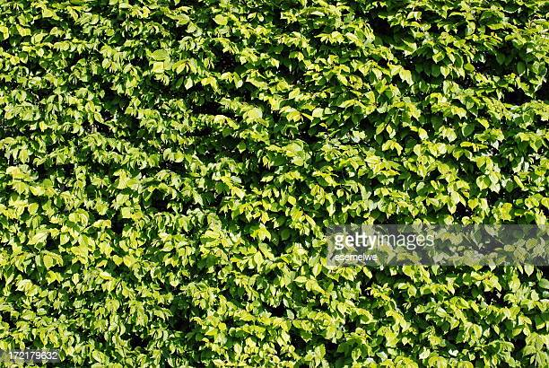 hornbeam hedge - bush stock pictures, royalty-free photos & images