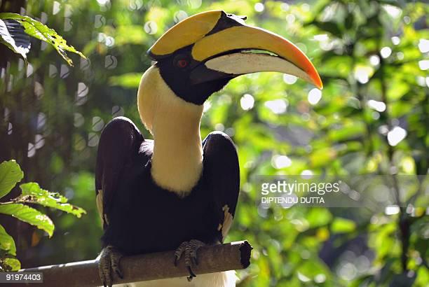 A hornbill bird is seen in an enclosure at Itnagar Biological Park in Itanagar the capital city of northeastern Indian state of Arunachal Pradesh on...
