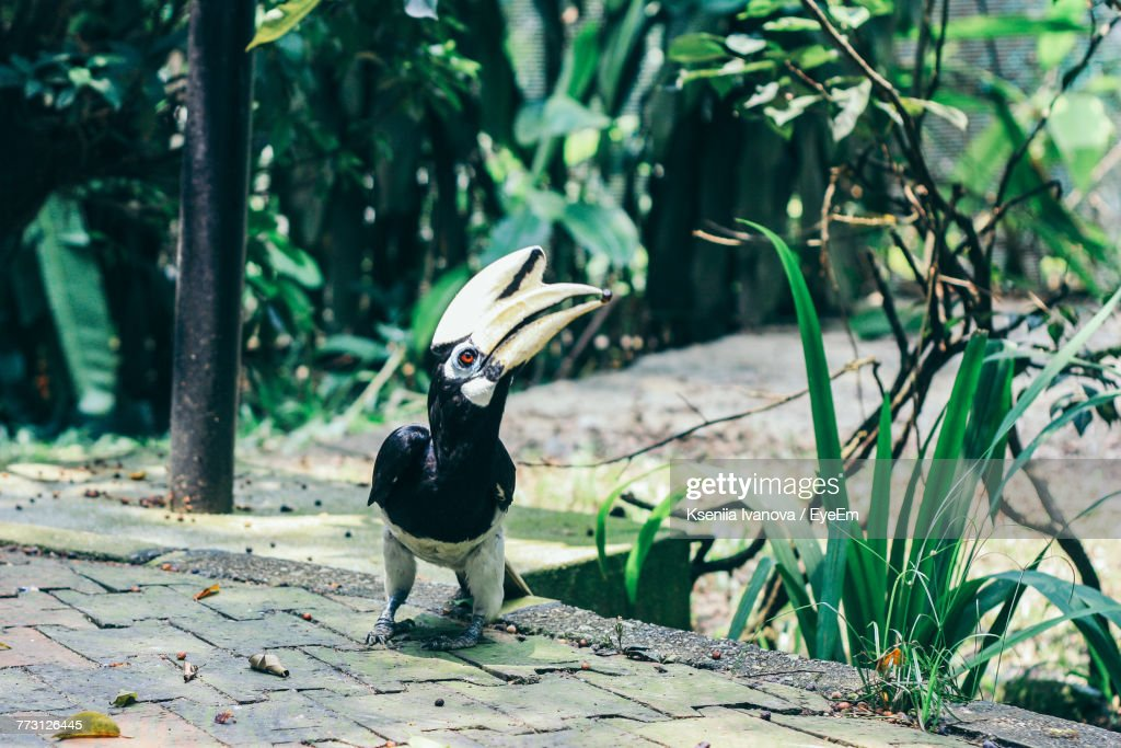 Hornbill Perching On Footpath By Plant : Photo