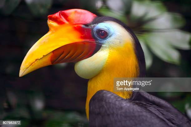 hornbill - oiseau tropical photos et images de collection