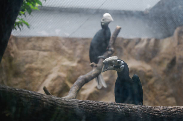 POL: Wroclaw Zoo Successfully Breeds Threatened Palawan Hornbills