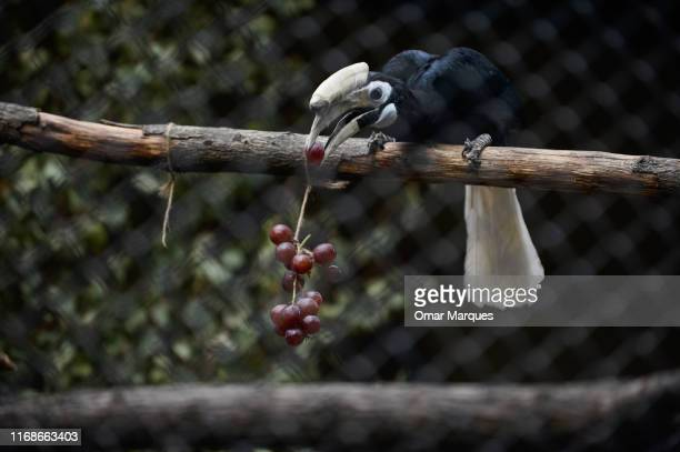 Hornbill, Sofia stands on a tree branch in an indoor inclosure on September 16, 2019 in Wroclaw, Zoo, Wroclaw, Poland. Avilon and Sofia arrived in...