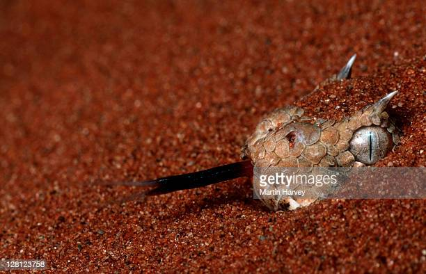Horned Adder (Bitis caudalis) concealed in sand, Southern Africa