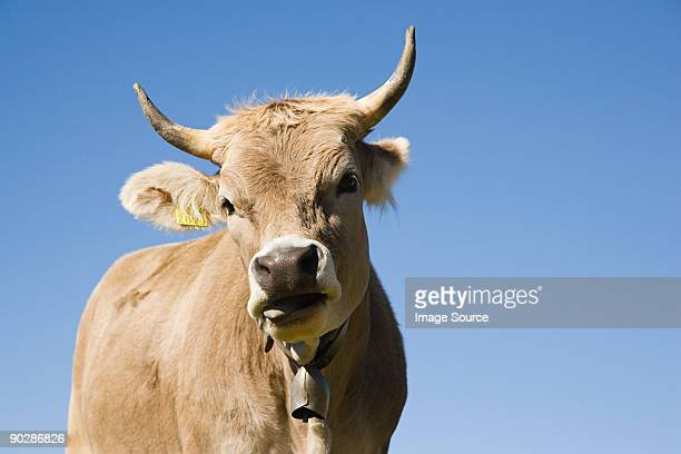 Horned cow looking at camera