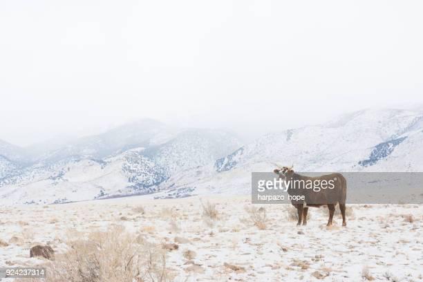 Horned cow standing in a snowy valley in Utah.