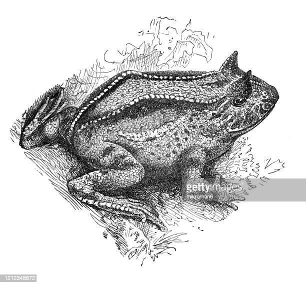 horned frog (ceratophrys ornata) - species - species, classification of batrachians and other amphibia. antique illustration, published 1894 - sapo do suriname imagens e fotografias de stock