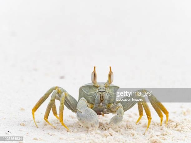 Horned Ghost Crab, ocypode ceratophthalma, Wizard Island, Cosmoledo Atoll, Seychelles.