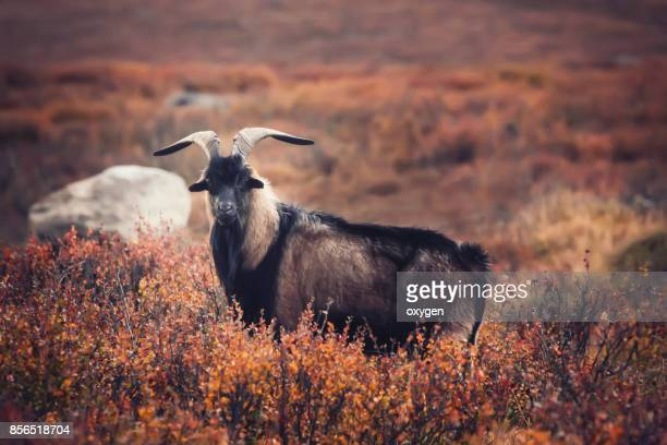 Horned Goat stay in autumn red dwarf birches, Ulaganskiy district. Altai, Russia