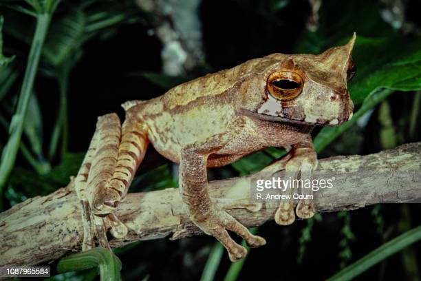 horned marsupial frog - costa rica, panama - horned frog stock photos and pictures