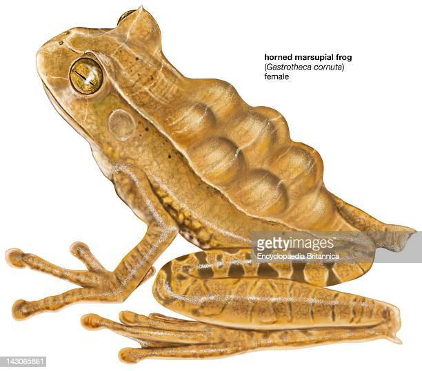 Horned Marsupial Frog, Female Horned Marsupial Frog With Eggs In Its Pouch.