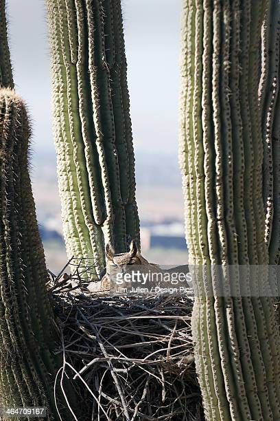 Horned Owl In A Nest Inside A Cactus Plant