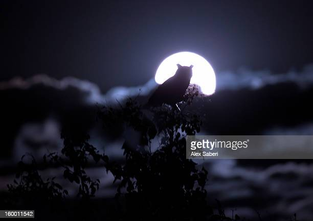 a horned owl rests on tree tops against a full moon. - alex saberi imagens e fotografias de stock