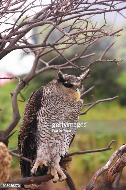 Horned owl type Bubo Sumatera is perched on a wood in Dieng Plateau area Owl which are of THE Strigiformes order are Indian Owls but their...