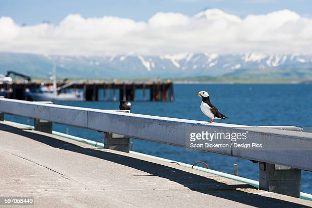 A Horned Puffin (Fratercula Corniculata) On The Rail Of The Dock At Cold Bay, Southwest Alaska, United States Of America