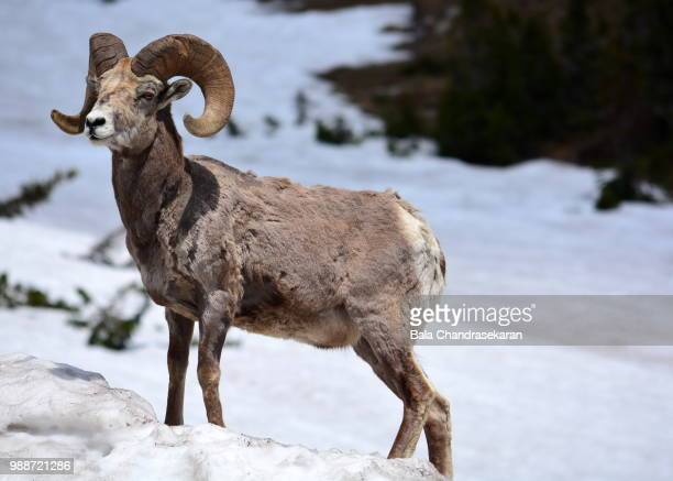 horned sheep - file:bighorn,_grand_canyon.jpg stock pictures, royalty-free photos & images