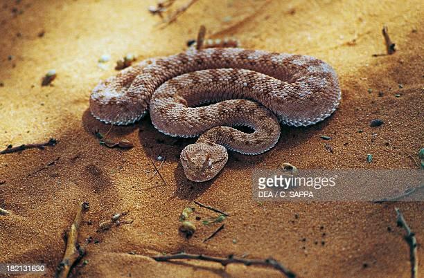 Horned viper Wadi Abd ElMalik Libyan Western Desert Egypt