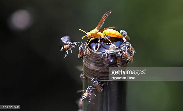 Hornet and Honey Bee flies around a water pipe during a hot weather as Delhi/NCR experienced yet another scorching day on May 24 2015 in New Delhi...
