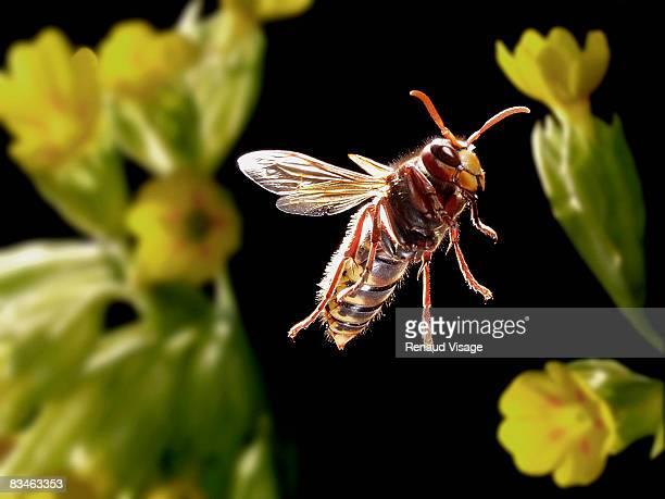 hornet in flight - calabrone foto e immagini stock