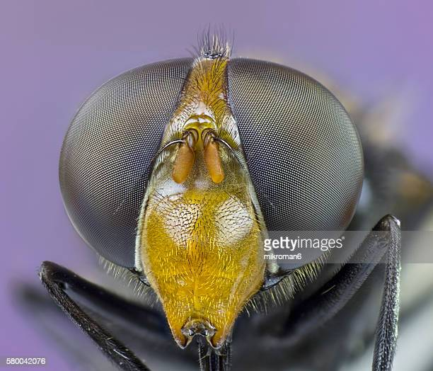 Hornet Mimic hoverfly (Volucella zonaria) close-up.