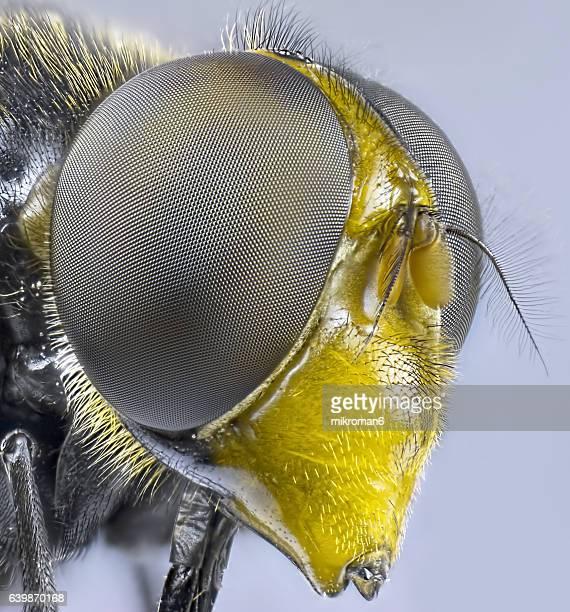 Hornet Mimic hoverfly (Volucella zonaria) close-up.