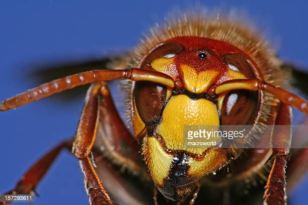 hornet - sting stock pictures, royalty-free photos & images