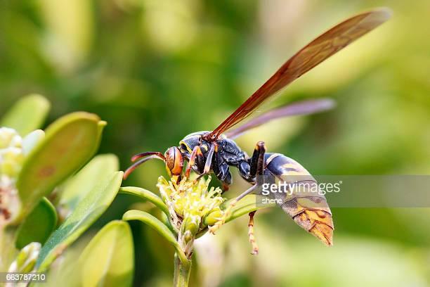 hornet - calabrone foto e immagini stock