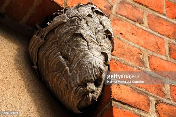 hornet's nest on a ledge, roegnitz, mecklenburg-western pomerania, germany - nido di vespe foto e immagini stock