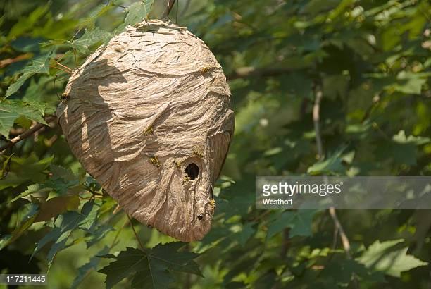 vespaio - nido di vespe foto e immagini stock