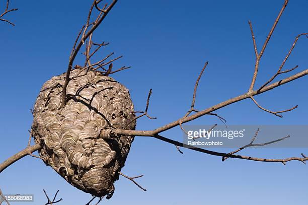 hornet's nest - insectenbeet stockfoto's en -beelden