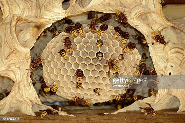 hornets, vespa crabro, at vespiary - nido di vespe foto e immagini stock