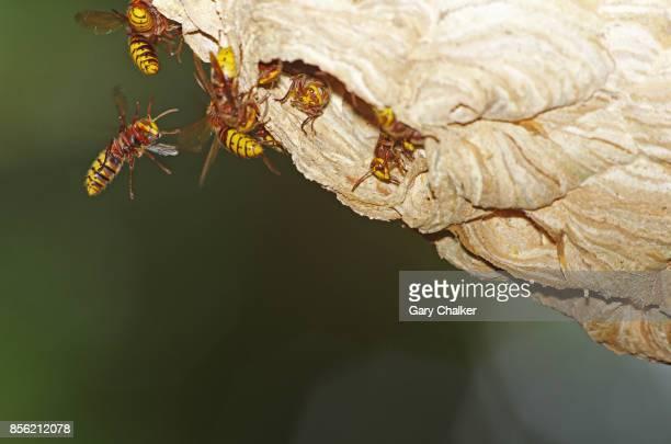 Hornets [Vespa crabro] nest
